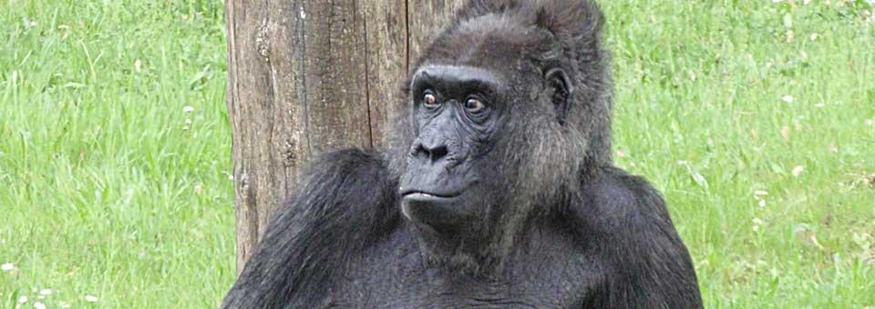 Ajatusrinki-blogi-filosofia-gorilla